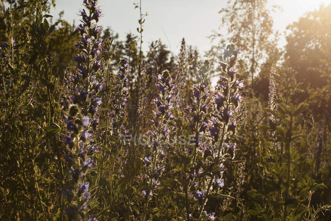 Purple flowering plants blooming on field during sunny day — Stock Photo