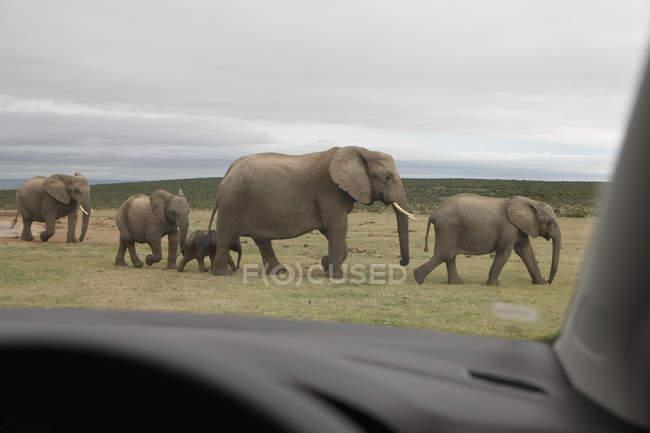 Famille d'éléphant marchant sur le bord de la route à partir de voiture — Photo de stock