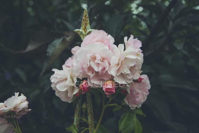 Close up vista de rosas rosa florescendo no parque — Fotografia de Stock