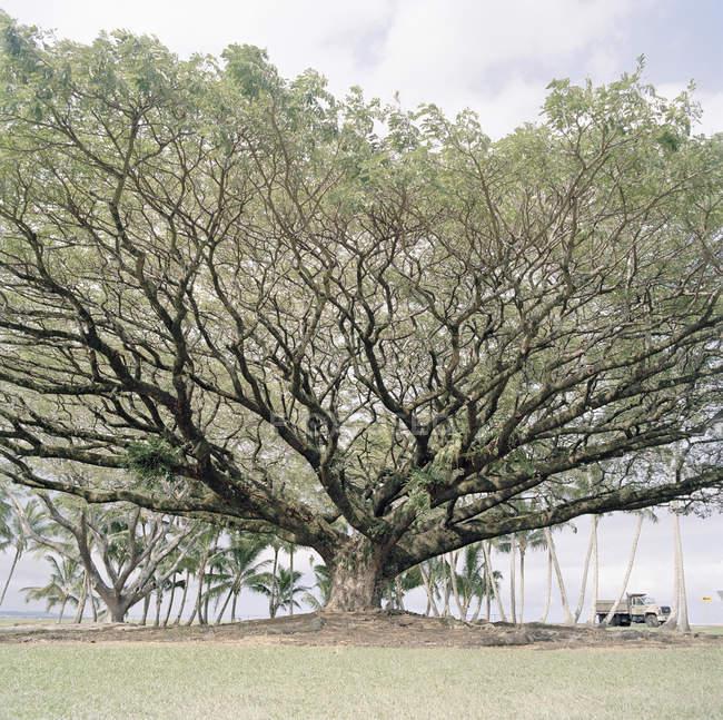 Великі дерева в природі безхмарне день — стокове фото