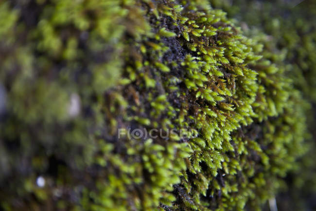 Крупным планом зрения зеленый мох — стоковое фото