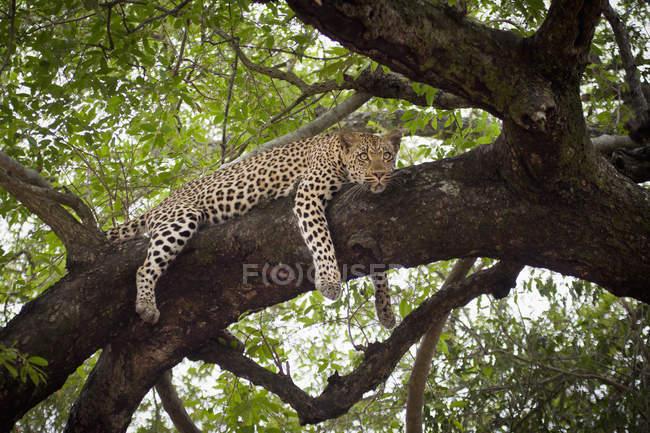 Leopardo tumbado en rama de árbol y mirando lejos - foto de stock