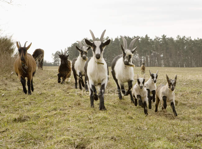 Vorderansicht der Ziegen laufen mit jungen im Bereich — Stockfoto