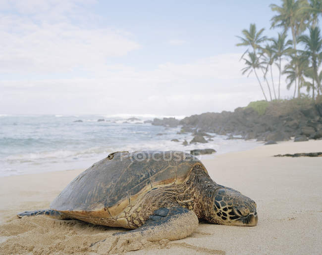 Vue de côté de tortue couché sur la plage tropicale — Photo de stock