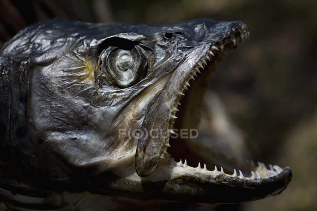 Primo piano dei pesci morti — Foto stock