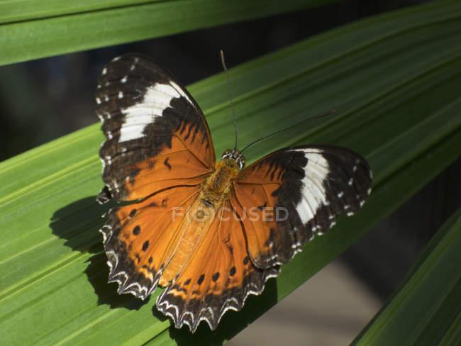 Chiuda sulla vista della farfalla di Lacewing del leopardo su foglia — Foto stock