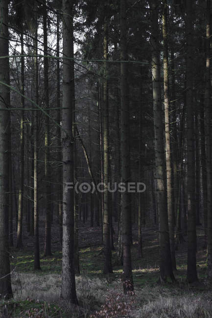 Tall trees in dark and misty forest — Stock Photo
