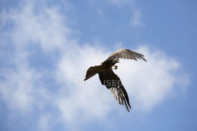 Inquadratura dal basso dell'Aquila che vola contro il cielo nuvoloso — Foto stock