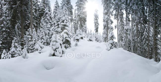 Prise de vue panoramique des arbres enneigés dans bois d'hiver — Photo de stock