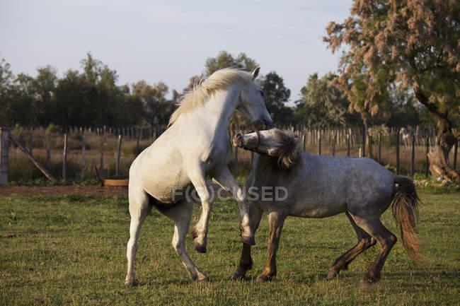 Zwei Pferde im eingezäunten Bereich spielen — Stockfoto