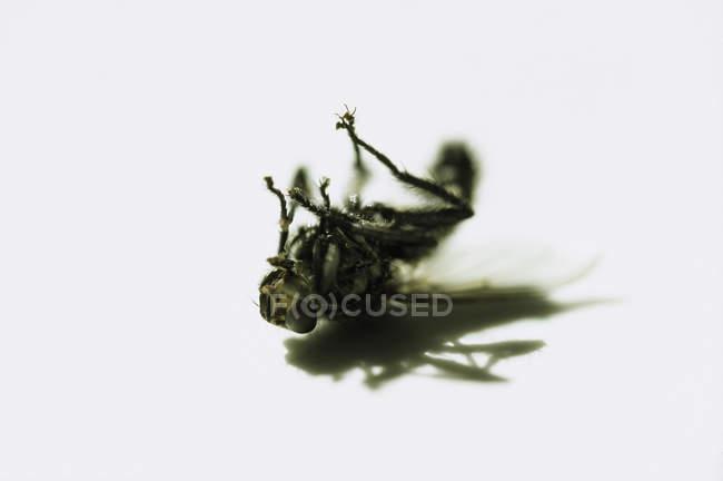 Chiuda in su della mosca morta — Foto stock
