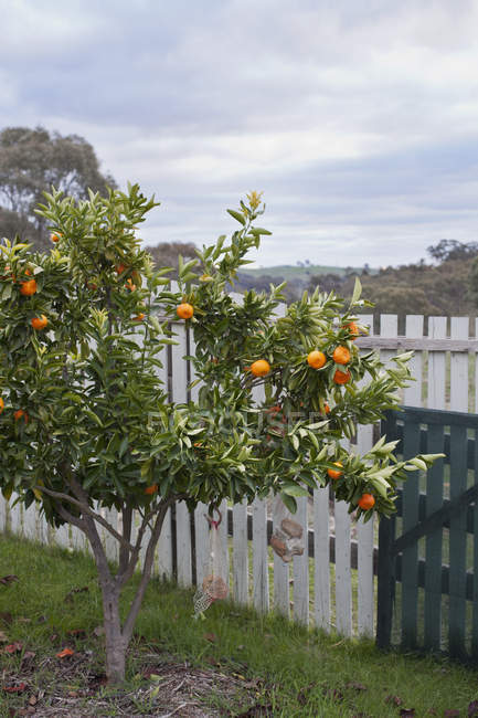Orange tree in front of rustic fence — Stock Photo