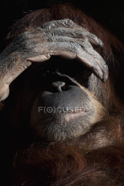 Portrait of monkey hiding face with palm — Stock Photo