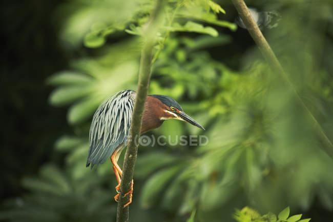 Héron vert perché sur une branche d'arbre — Photo de stock