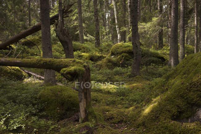 Деревья и мох покрыты ландшафтом в лесу — стоковое фото
