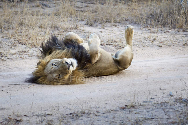 Leão macho brincalhão deitado no safari — Fotografia de Stock