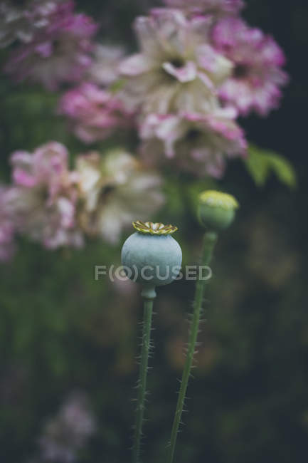 Nahaufnahme von Mohnknospen über Rosenblüten — Stockfoto