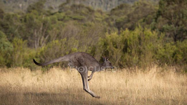 Кенгуру стрибати в safari природи — стокове фото