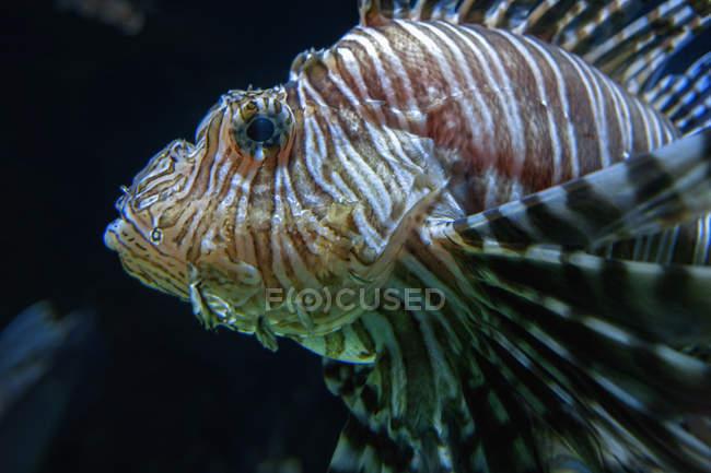 Боковой вид головы льва в темной воде — стоковое фото