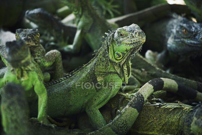 Nahaufnahme der Fraktion der grünen Leguane — Stockfoto