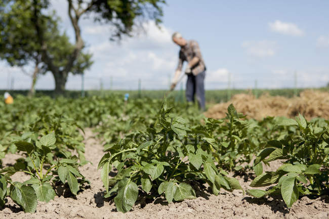 Plants growing in community garden with man working on background — Stock Photo