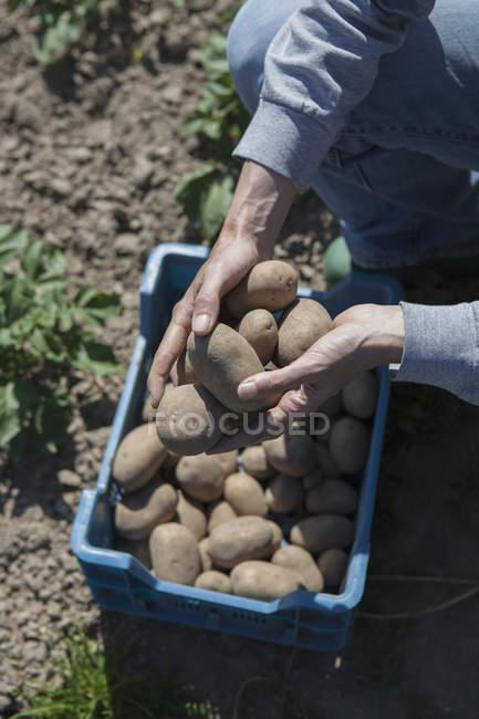 Обтинання жінки руки холдингу видобуваються картоплю в співтовариство сад — стокове фото