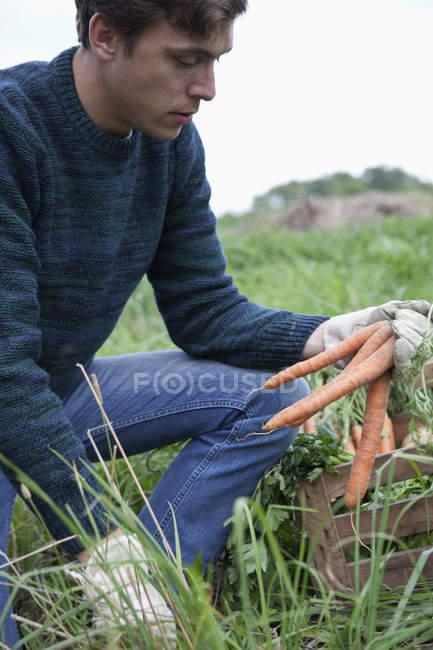 Hombre joven cosecha zanahoria en campo en campo - foto de stock