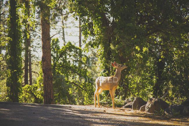 Vista lateral de ciervos comiendo las hojas en las ramas en el bosque - foto de stock