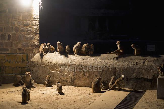 Scimmie sedute sul muro di notte — Foto stock