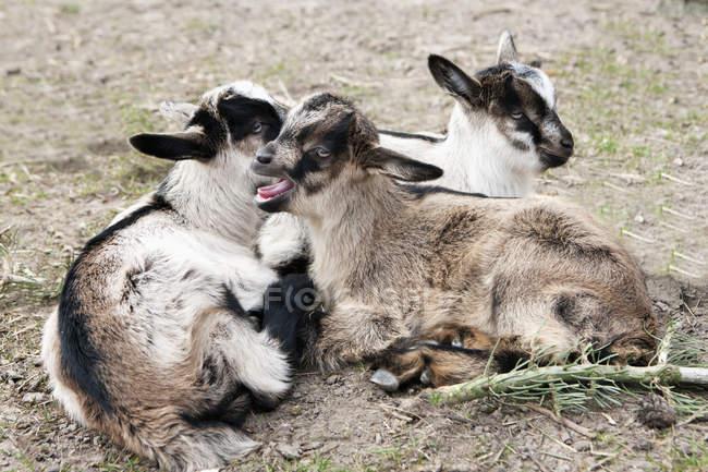 Козячі дитинці лежачи на землі на полі — стокове фото