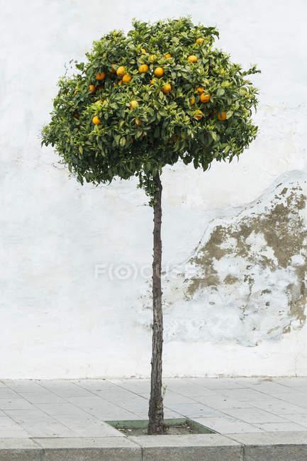 Zitronenbaum wächst auf Bürgersteig über geriebene weiße Wand — Stockfoto