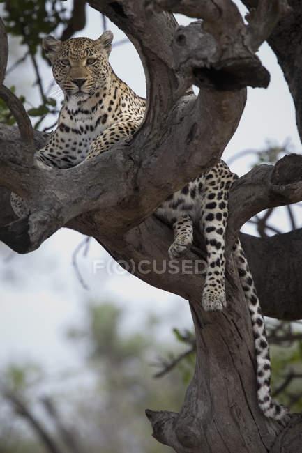 Leopard лежав у відділеннях голі дерева і дивлячись на камеру — стокове фото