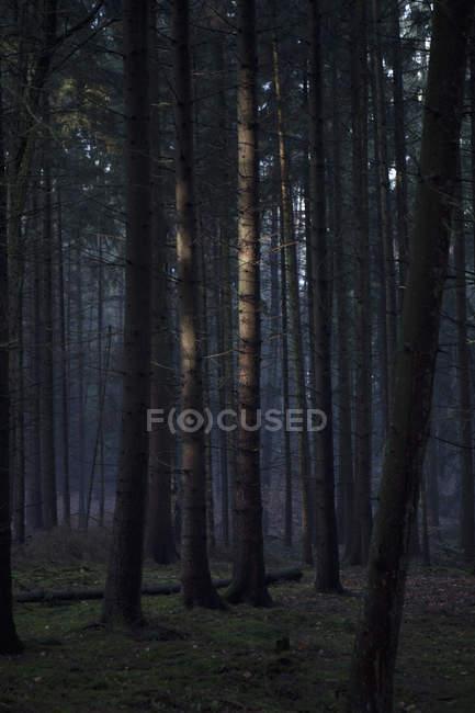 Sunlight on tall tree trunks in dark forest — Stock Photo