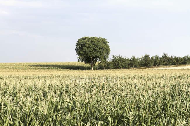 Vue panoramique arbre au milieu champ de céréales le jour ensoleillé — Photo de stock