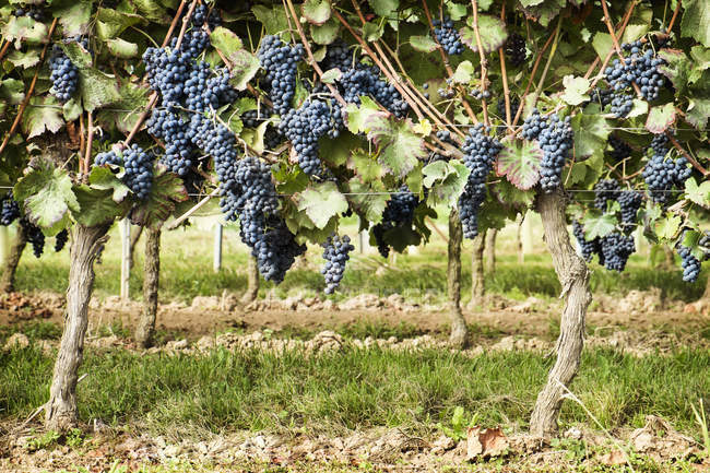 Grapes growing at vineyard on sunny day — Stock Photo