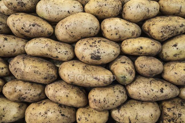 Nahaufnahme der schlammigen Kartoffeln frisch geerntet — Stockfoto