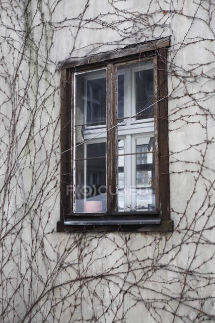 Detail der Hausfassade mit nacktem Efeu umarmt — Stockfoto