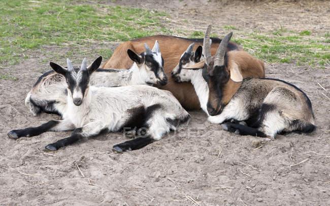 Vista ad alto angolo di capre rilassante sul campo — Foto stock