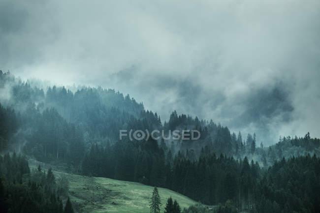 Пейзаж сосновых деревьев на склоне во время туманная погода — стоковое фото