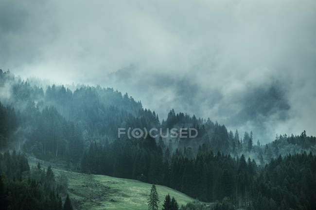 Landscape of pine trees on slope during foggy weather — Stock Photo