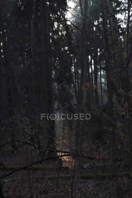 Tranquila escena de bosque al atardecer - foto de stock