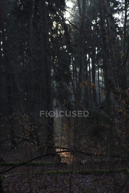 Tranquil scene of forest at dusk — Stock Photo