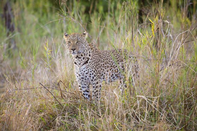 Pé de leopardo fêmea alertly em grama — Fotografia de Stock