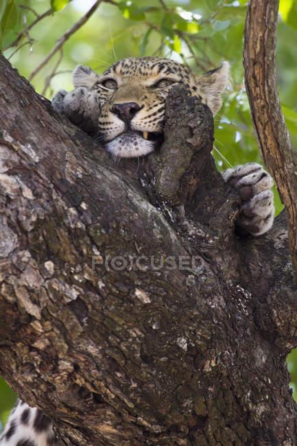 Leopard roçando seu rosto casca de árvore — Fotografia de Stock