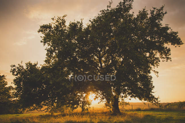 Backlit tree on idyllic field at sunset dusk time — Stock Photo