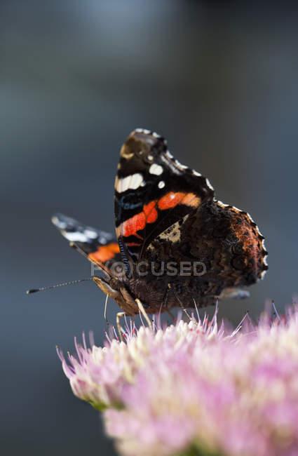 Крупным планом вид бабочка усаживаться на цветок. — стоковое фото