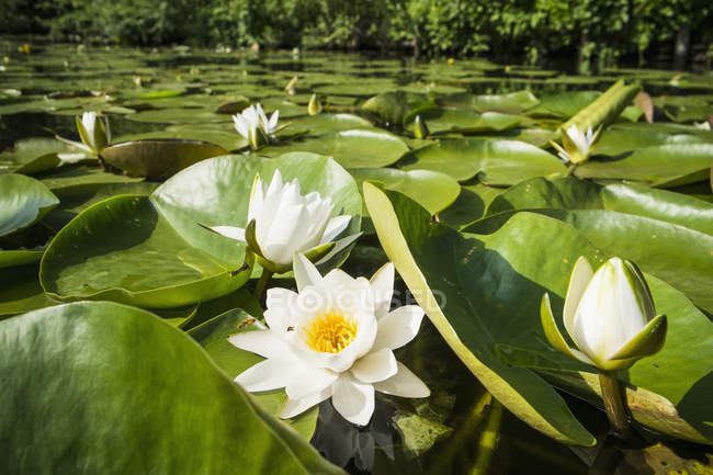 Close up view of lotus flowers at pond sunny day — Stock Photo
