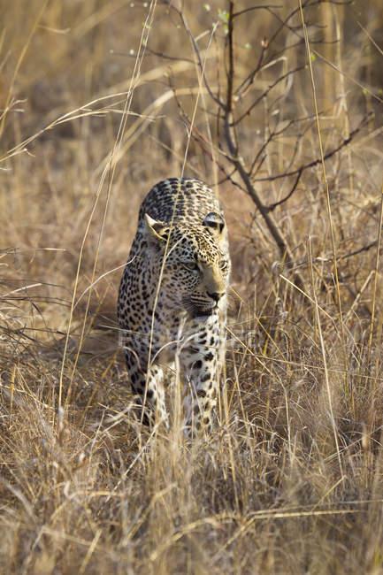 Leopard perseguindo pela grama no safari — Fotografia de Stock