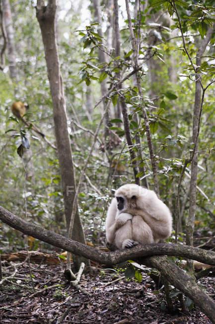 Macaco branco sentado no galho na natureza — Fotografia de Stock