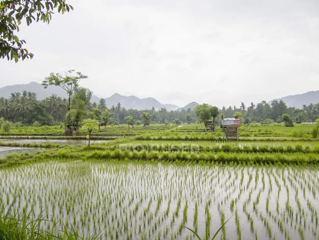 Blick auf Reis Paddy Landschaft an sonnigen Tag — Stockfoto
